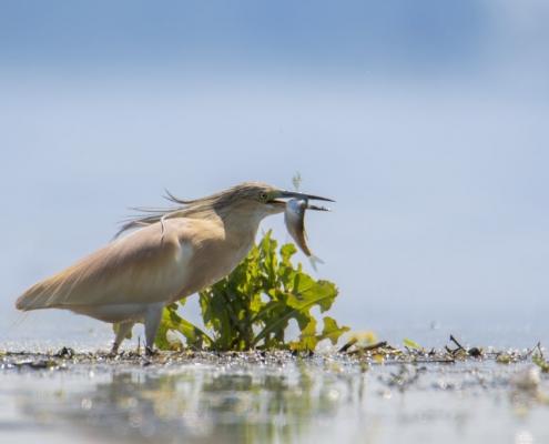 Squacco heron bird with hunted fish, Squacco heron bird in flowers, bird, bird, orange bird, Ardeola ralloides, Squacco heron, lake Kerkini, wildlife nature photography, blue beak
