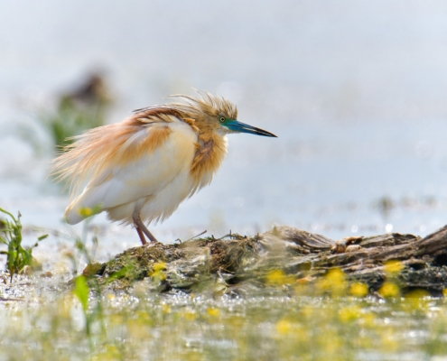 Squacco heron bird in flowers, bird, bird, orange bird, Ardeola ralloides, Squacco heron, lake Kerkini, wildlife nature photography, blue beak, yellow flowers