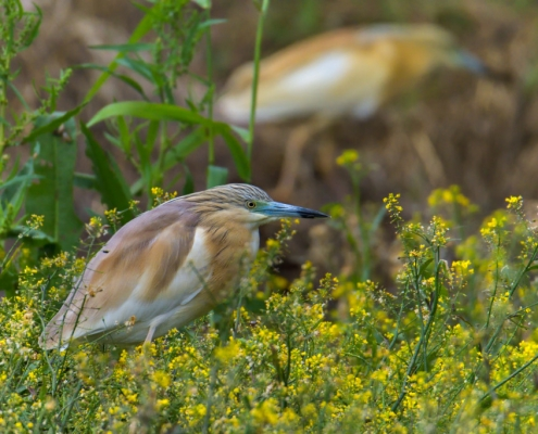 Squacco heron bird in flowers, bird, bird, orange bird, Ardeola ralloides, Squacco heron, lake Kerkini, wildlife nature photography, blue beak, yellow flowers