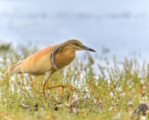 walking orange bird, bird, orange bird, Ardeola ralloides, Squacco heron, lake Kerkini, wildlife nature photography, blue beak