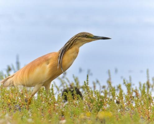 bird, orange bird, Ardeola ralloides, Squacco heron, lake Kerkini, wildlife nature photography, blue beak, close up