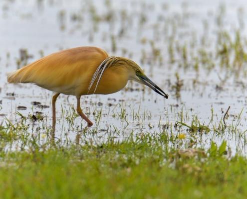 Squacco heron bird with insect, bird, orange bird, Ardeola ralloides, Squacco heron, lake Kerkini, wildlife nature photography, blue beak