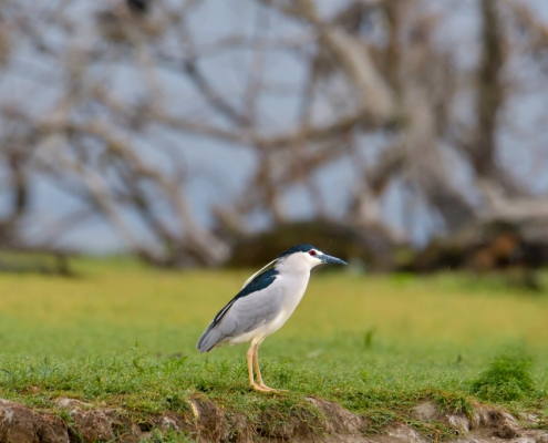 Black-crowned night heron, Nycticorax nycticora, water bird night heron on the branch, wildlife nature photography