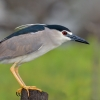 Black-crowned night heron, Nycticorax nycticora, water bird night heron on the branch, wildlife nature photography, green background