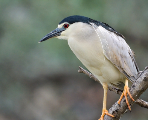 Black-crowned night heron, water bird night heron on the branch, wildlife nature photography