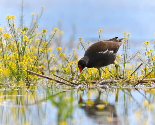 Common moorhen, waterhen, swamp chicken, gallinule bird in water, flowers