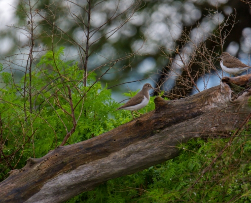 Sandpiper birds on the branche in Kerkini lake, Actitis hypoleucos,