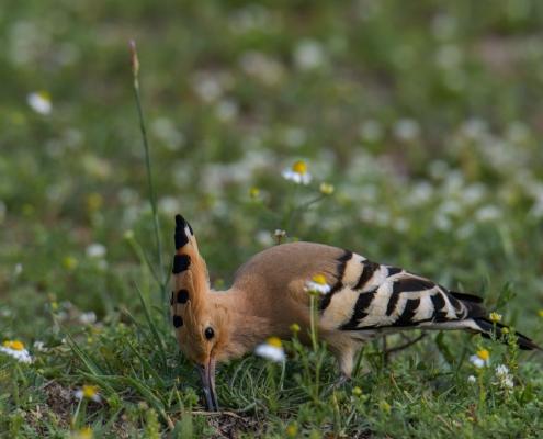 Eurasian Hoopoe, Upupa Epops, Dudek, brown bird zebra bird birding wildlife nature photography