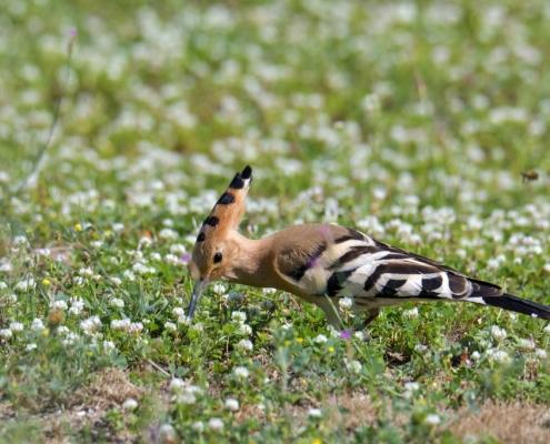 Hoopoe bird in flowers, eurasian Hoopoe bird close up, brown bird , upupa epops, wildlife nature photography