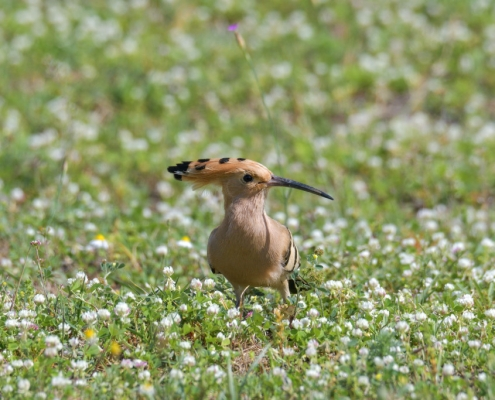 Hoopoe bird in flowers, eurasian Hoopoe bird close up, brown bird , upupa epops, wildlife nature photography