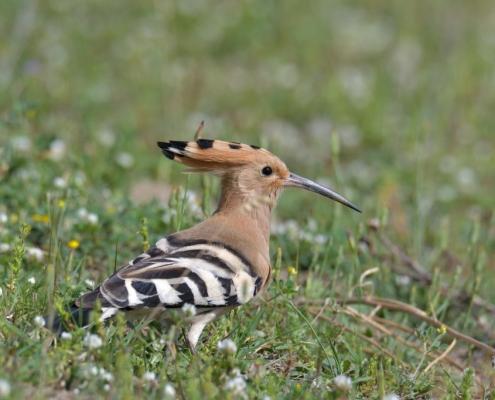 eurasian Hoopoe bird close up, brown bird , upupa epops, wildlife nature photography