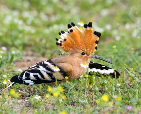 Hoopoe bird close up, brown bird