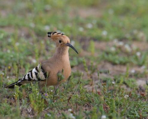 Hoopoe bird close up, brown bird