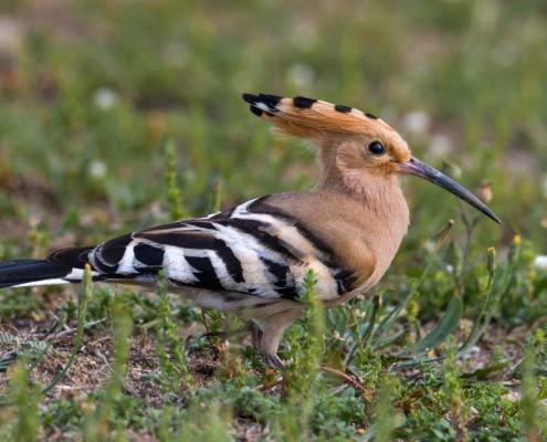 Hoopoe bird, brown bird, wildlife nature photography, close up