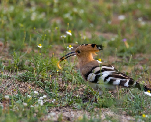 Hoopoe bird eating bug, brown bird, wildlife nature photography