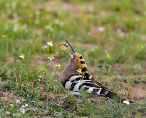 Hoopoe bird eating bug, brown bird, wildlife nature photography
