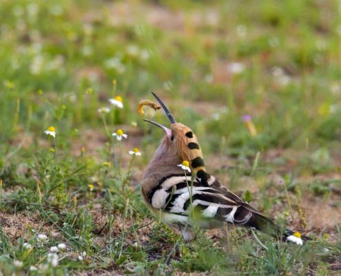 Hoopoe bird eating bug