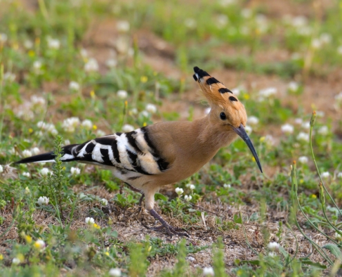 Eurasian hoopoe, Upupa epops, Dudek, browan bird, bird
