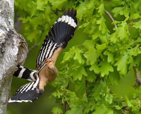 Eurasian hoopoe, Upupa epops, Dudek, brown bird, close up bird, flying bird, ptak, tree, brązowy ptak z czubem, rezerwat świdwie, puszcza wkrzańska, nature photography Artur Rydzewski