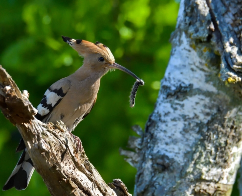 Eurasian hoopoe, Upupa epops, Dudek, brown bird, zebra bird, bird with insect in long beak, close up bird, brown bird sitting on branch tree wildlife nature photography Artur Rydzewski