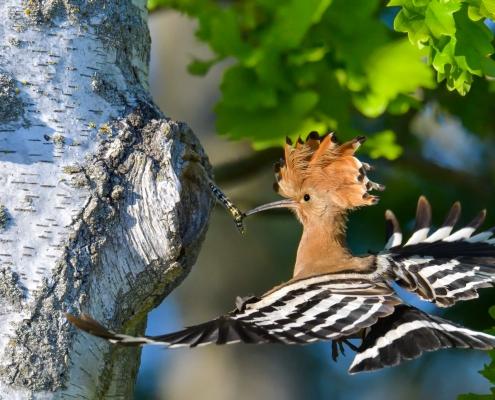 Eurasian hoopoe, Upupa epops, Dudek, brown bird, zebra bird, bird with insect in long beak, close up bird, brown bird flight birch-tree feeding prey bird wildlife nature photography Artur Rydzewski