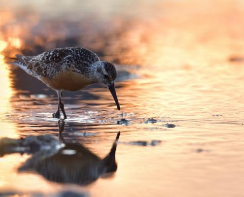Red knot bird, Calidris canutus, water reflection, sunset, sunrise, wildlife nature photography