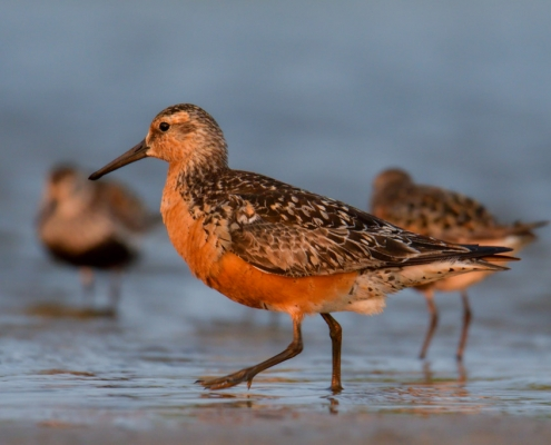Red knot, Calidris canutus, Red knot bird in sea water in sanset light, wildlife nature photography
