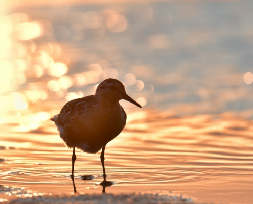 Red knot, Calidris canutus, Red knot bird in sea water in sanset light, bokeh, wildlife nature photography