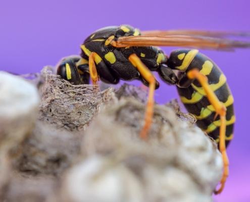 Wasp on nest, wasp, nest, macro photography, close up