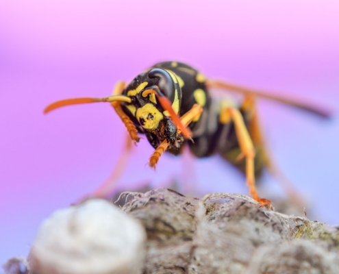 Macro photography wasp and nest, yellow insect, close up