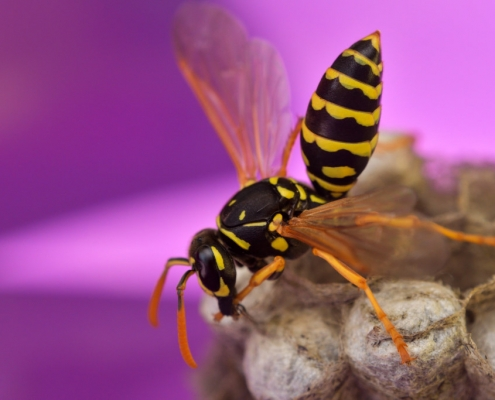 Macro photography of mother wasp, Mother wasp and her nest, yellow insect, close up
