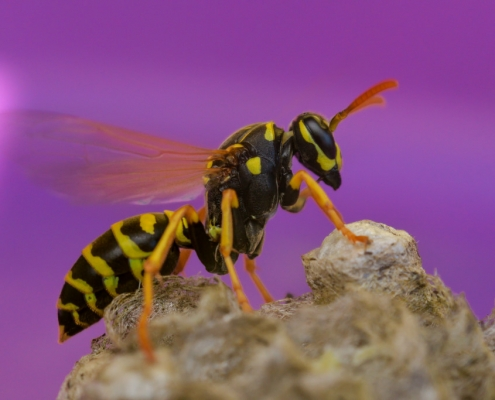 Mother wasp and her nest, queen wasp, purple background, yellow insect