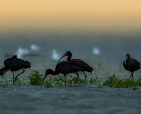 Glossy ibis, Plegadis falcinellus, black bird with long beak, water, sunrise