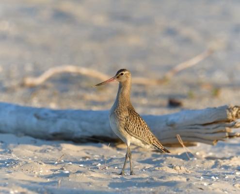 Bar-tailed godwit, Limosa lapponica, Szlamnik, bird, large wader bird, sand, branch, sun light, wildlife nature photography, Artur Rydzewski