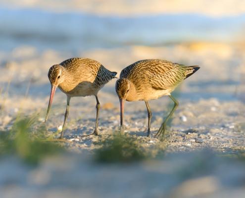 couple, Bar-tailed godwit, Limosa lapponica, Szlamnik, bird, large wader bird, sand, branch, sun light, wildlife nature photography, Artur Rydzewski