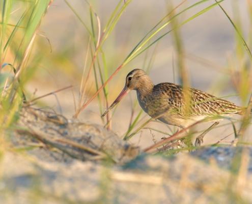 grass, Bar-tailed godwit, Limosa lapponica, bird, large wader bird, sand, branch, sun light, wildlife nature photography, Artur Rydzewski