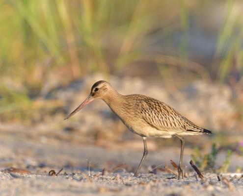 walking bird, grass, Bar-tailed godwit, Limosa lapponica, bird, large wader bird, sand, branch, sun light, wildlife nature photography, Artur Rydzewski