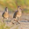 walking birds, couple, Bar-tailed godwit, Limosa lapponica, bird, large wader bird, sand, branch, sun light, wildlife nature photography, Artur Rydzewski