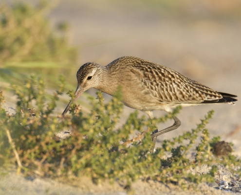 Bar-tailed godwit, Limosa lapponica, bird, large wader bird, sand, branch, sun light, wildlife nature photography, Artur Rydzewski
