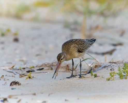 eating bird, insect, Bar-tailed godwit, Limosa lapponica, bird, large wader bird, sand, branch, sun light, wildlife nature photography, Artur Rydzewski