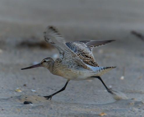 running bird, wings, wingspan, Bar-tailed godwit, Limosa lapponica, bird, large wader bird, sand, wildlife nature photography, Artur Rydzewski