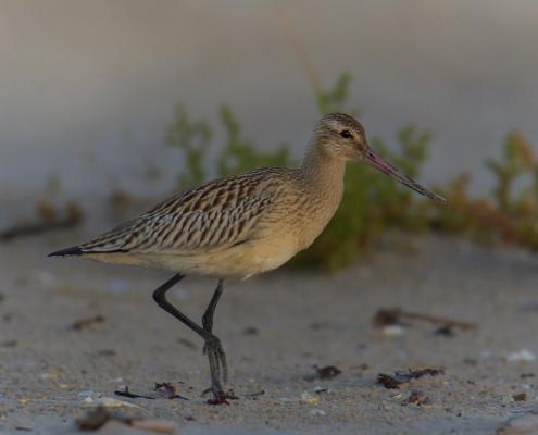 long beak, Bar-tailed godwit, Limosa lapponica, bird, large wader bird, sand, wildlife nature photography, Artur Rydzewski