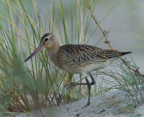 walking bird, grass, long beak, Bar-tailed godwit, Limosa lapponica, bird, large wader bird, sand, wildlife nature photography, Artur Rydzewski