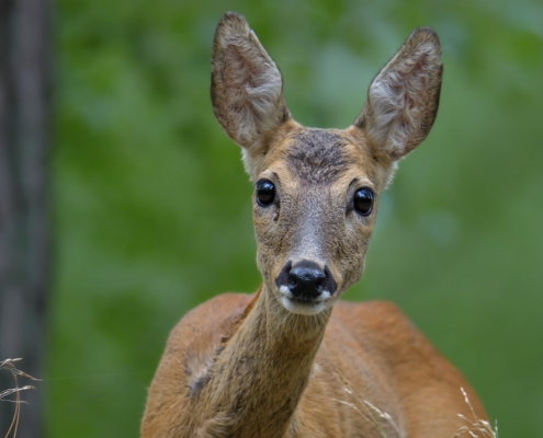 European roe deer, Capreolus, Sarna, animal close up, head, eyes, black eyes, wildlife nature photograpy Artur Rydzewski