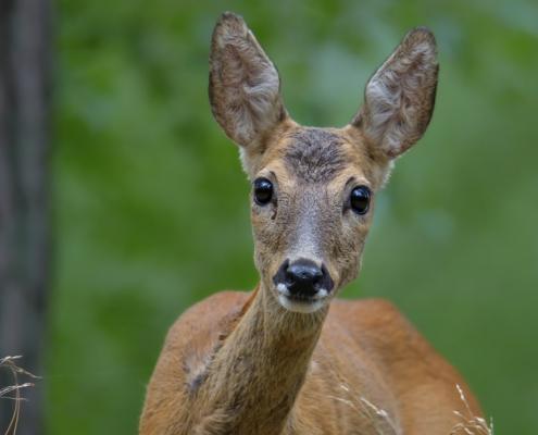 European roe deer, Capreolus, Sarna, animal close up, head, eyes, black eyes, wildlife nature photograpy Artur Rydzewski