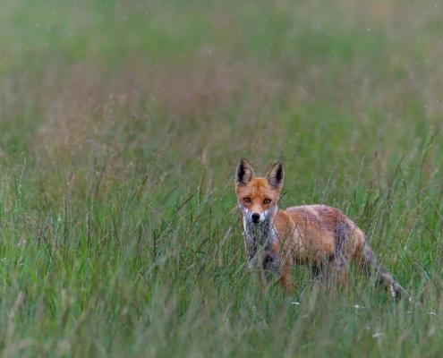 Red fox, Vulpes vulpes, Lis rudy, Lis pospolity, wildlife nature photogrsphy Artur Rydzewski