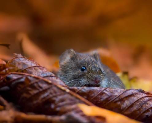 Bank vole, Myodes glareolus, Nornica ruda, Bank vole in the forest, brown leaves, wildlife nature photography Artur Rydzewski