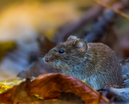 Bank vole, Myodes glareolus, Nornica ruda, Bank vole in the forest, wildlife nature photography Artur Rydzewski