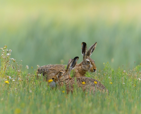European hare, Lepus europaeus, Zając szarak, animals, rabbit, grass, flowers, ears, grey, green