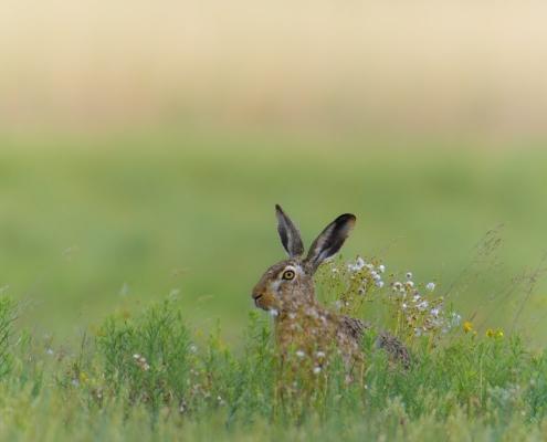 European hare, Lepus europaeus, Zając szarak, animals, rabbit, grass, flowers, ears, grey, green, small mammal, nature photography, wildlife